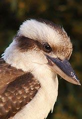 Kooaburra