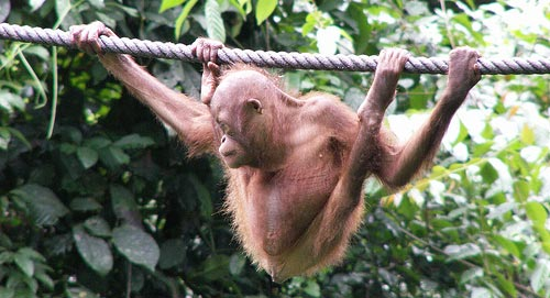 Baby Orang Utan hanging from a rope