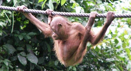 Детёныш орангутанга держится за верёвку
