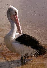 Пеликан на пляже